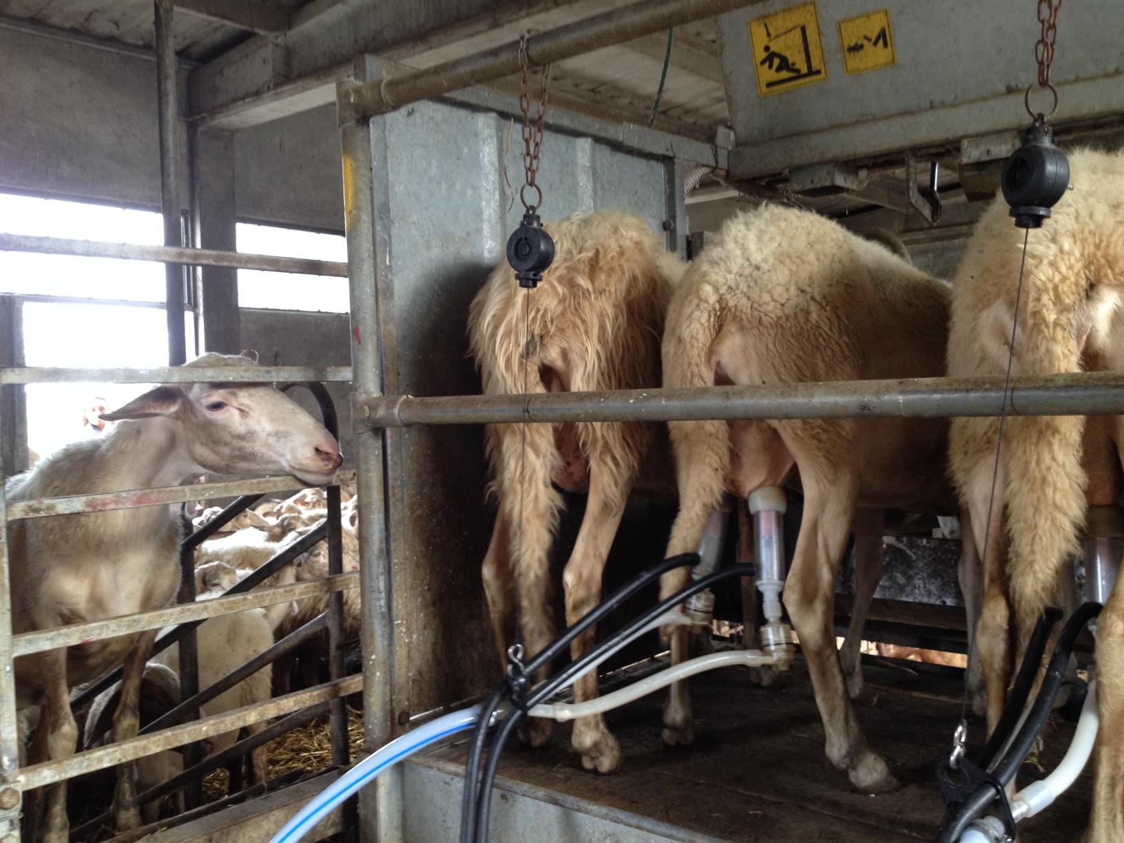 Mungitura delle Pecore a Semproniano