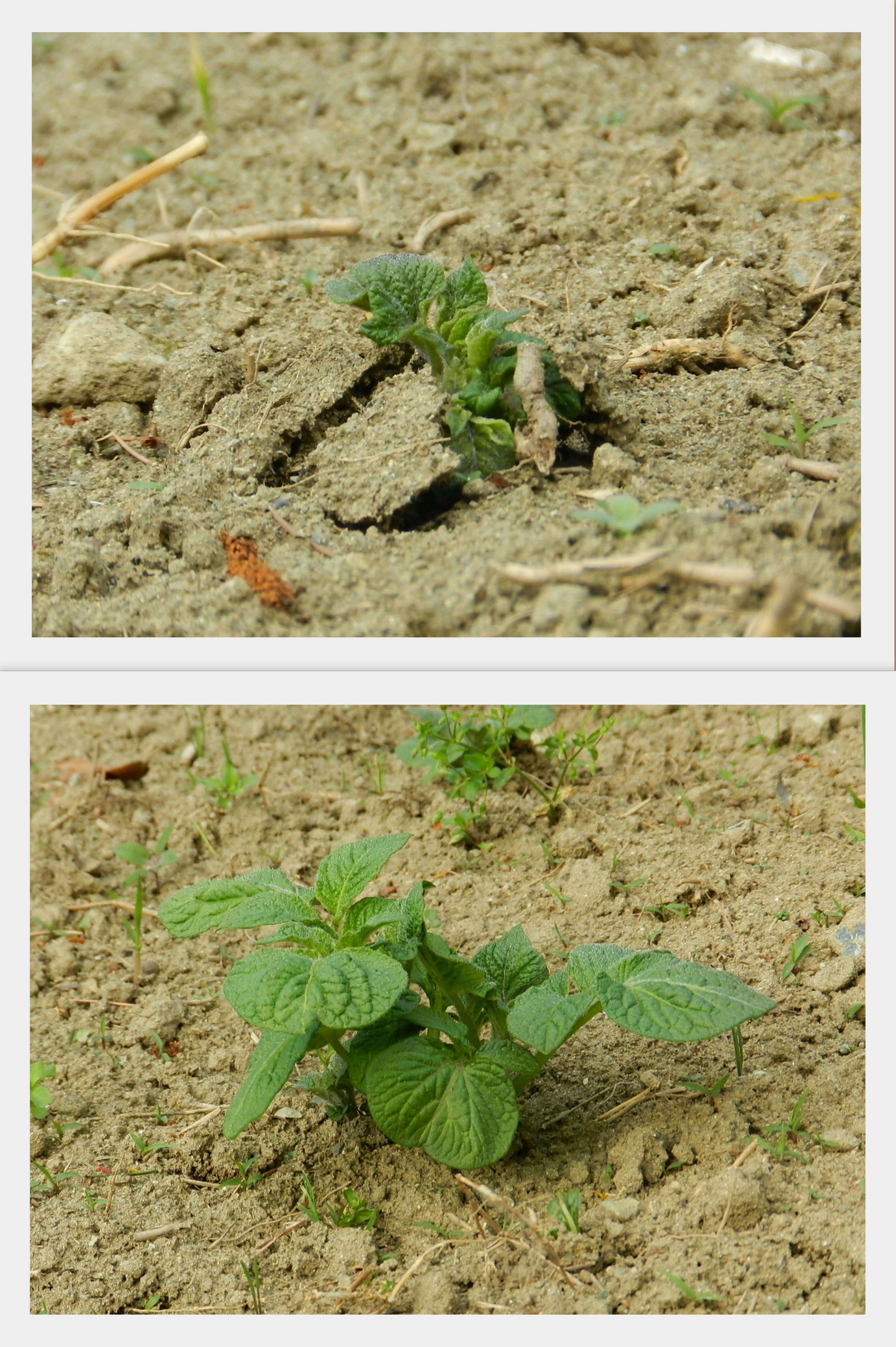 Crescita e Coltivazione delle patate