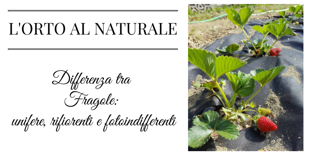 Differenza tra FRAGOLE unifere, FRAGOLE rifiorenti e FRAGOLE fotoindifferenti – L'ORTO AL NATURALE