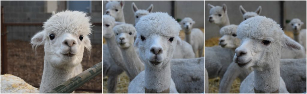 De Alpacaboerderij Soggiornare in una Fattoria di Alpaca. La nostra esperienza in Belgio.