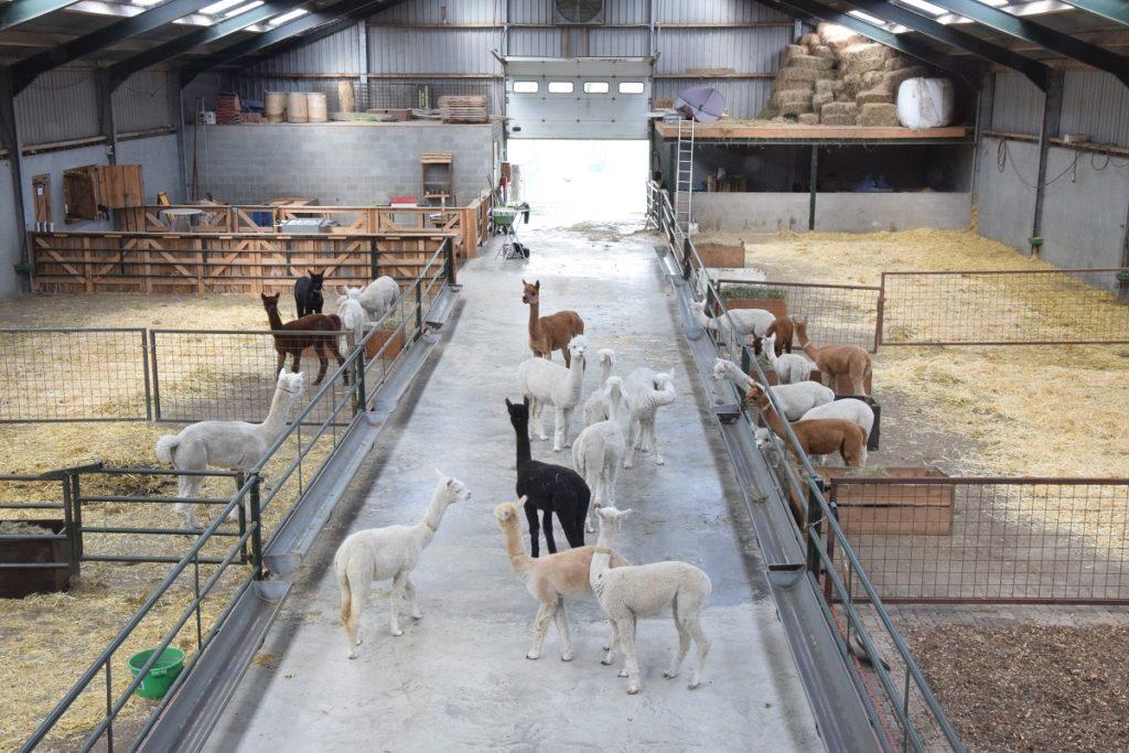 De Alpacaboerderij Soggiornare in una fattoria di Alpaca