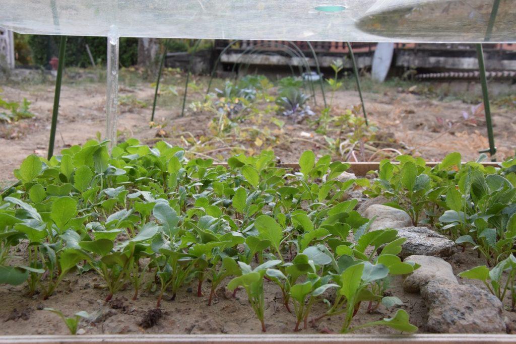 Il nostro primo Orto Invernale Quali verdure abbiamo piantato I ravanelli