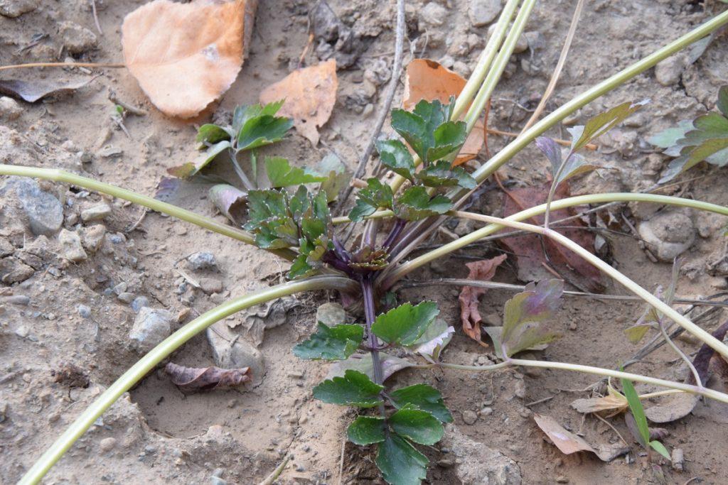 Il nostro primo Orto Invernale Quali verdure abbiamo piantato Sedano Rosso piemontese di Orbassano